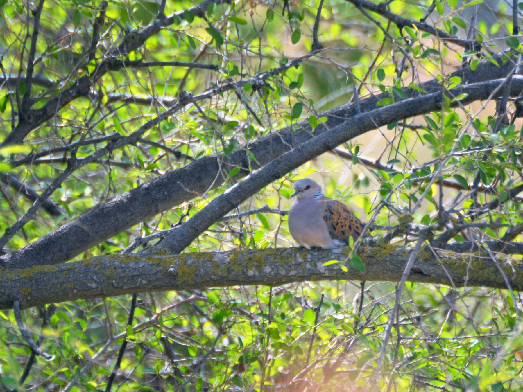 European Turtle-Dove - Jerome-Yehuda Schwartz