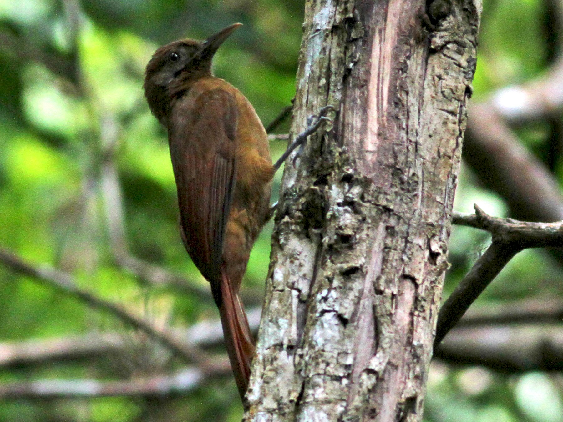 Plain-brown Woodcreeper - Jay McGowan