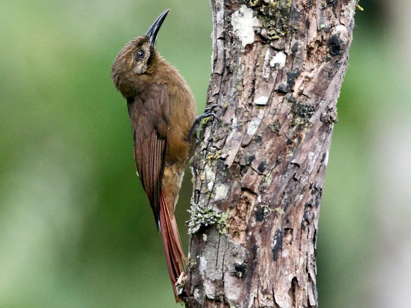 Plain-brown Woodcreeper - Tom Murray