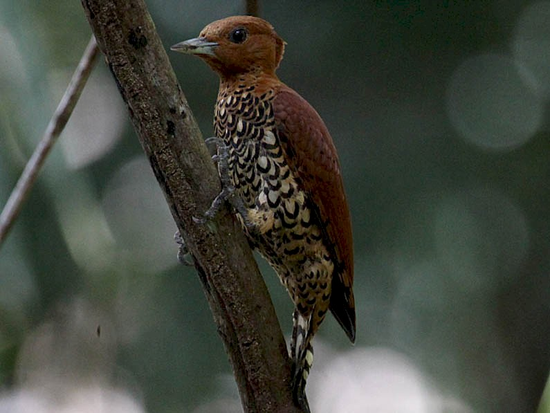 Cinnamon Woodpecker - Mark Dennis