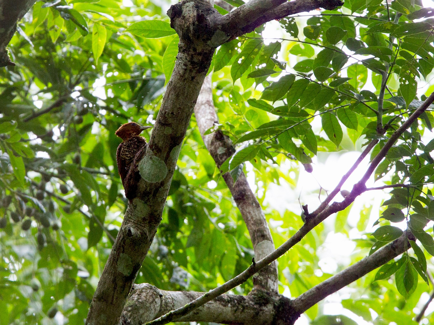 Cinnamon Woodpecker - David Disher