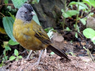 - Large-footed Finch