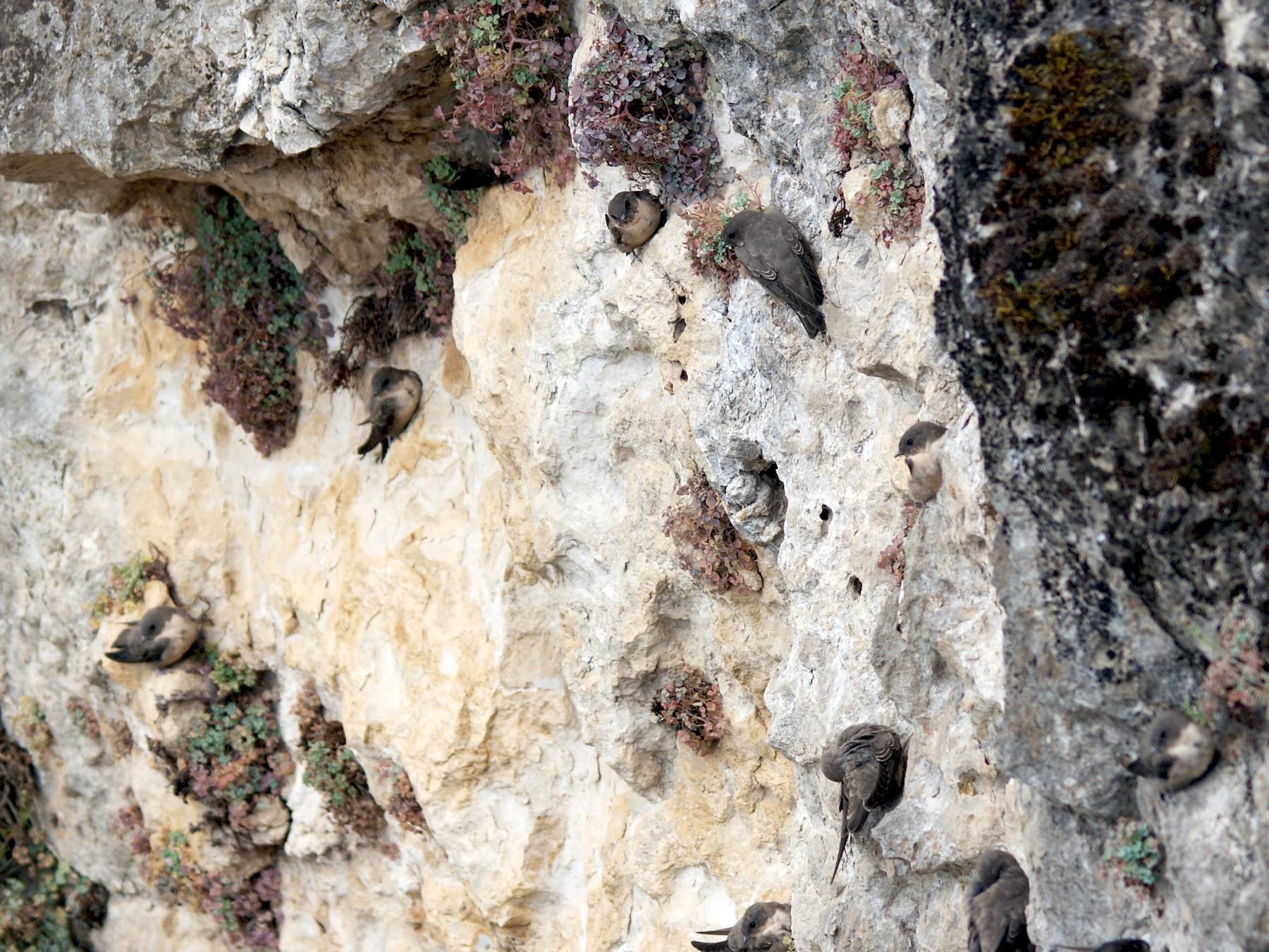 Eurasian Crag-Martin - Michaël Deryckere