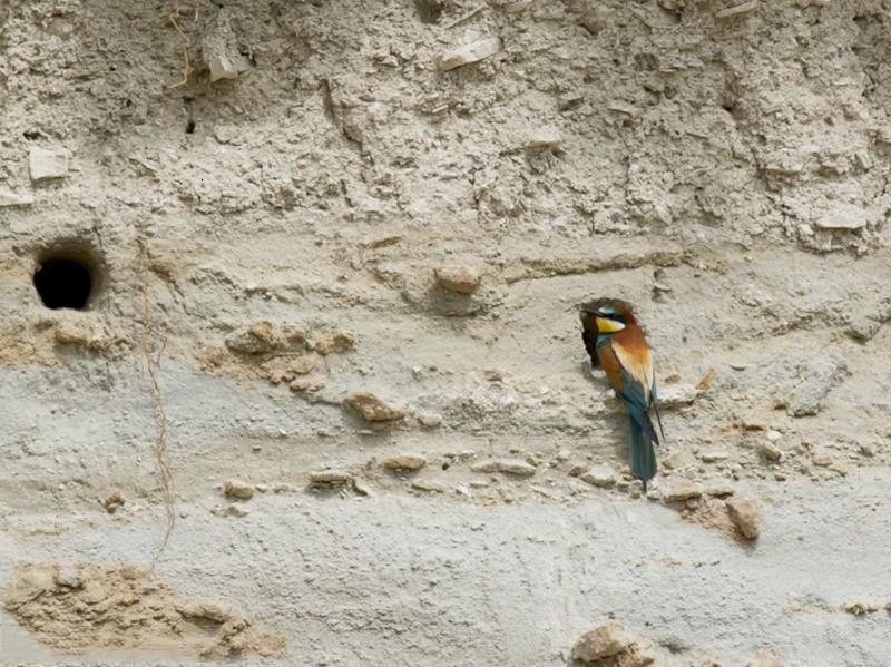 European Bee-eater - Vladan Vuckovic