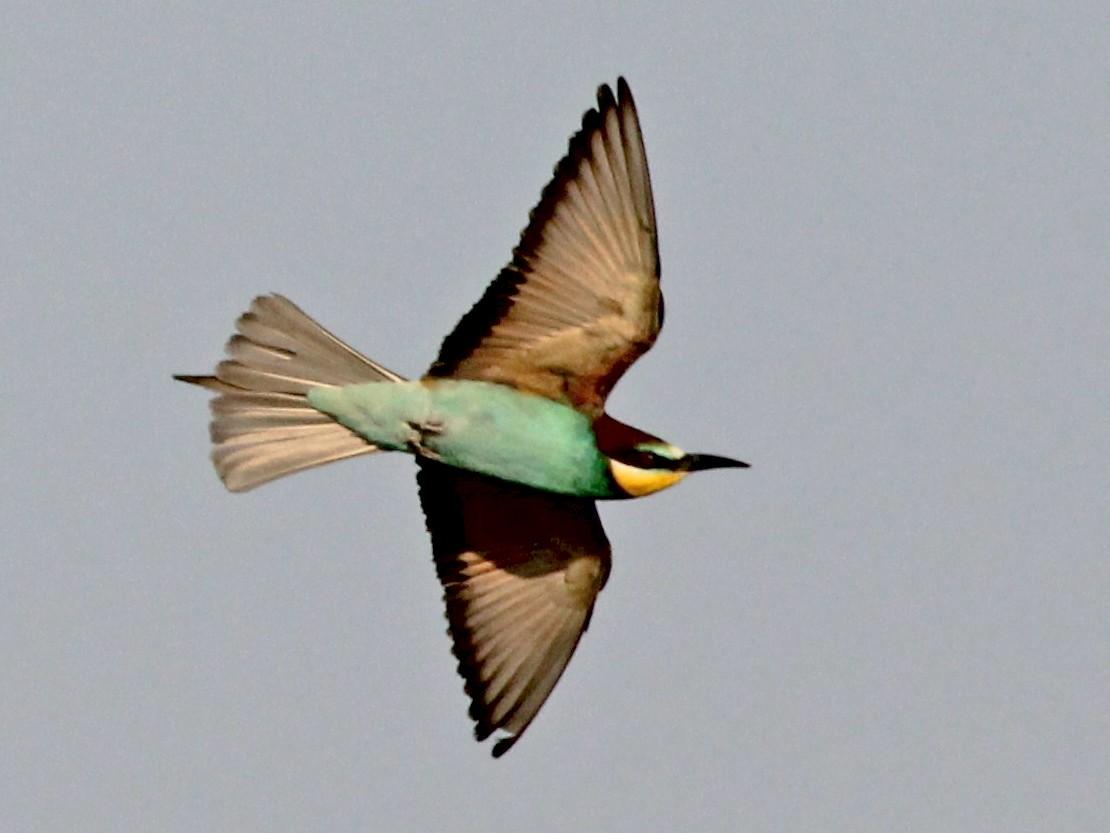 European Bee-eater - Paul Chapman