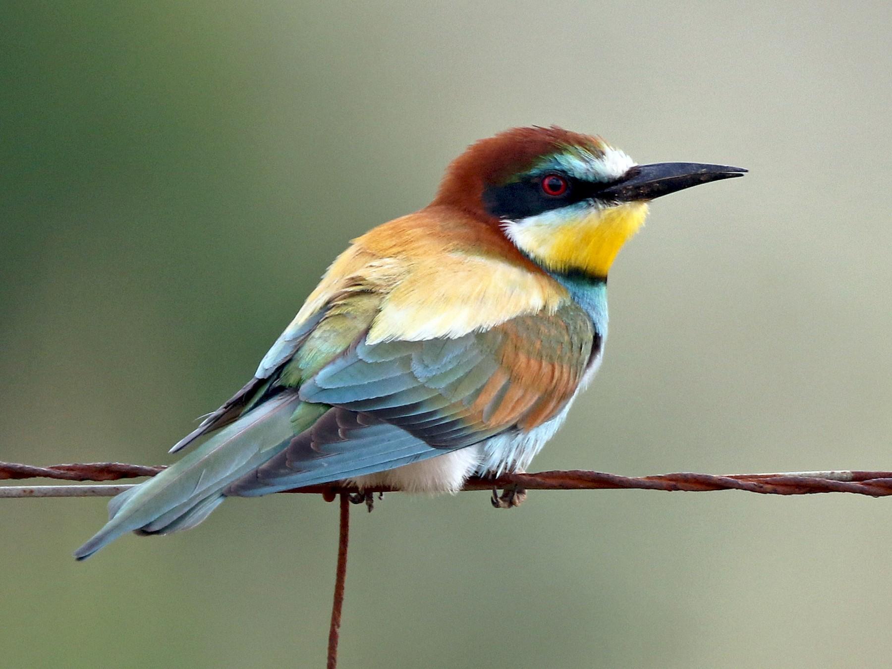 European Bee-eater - Daniel Jauvin