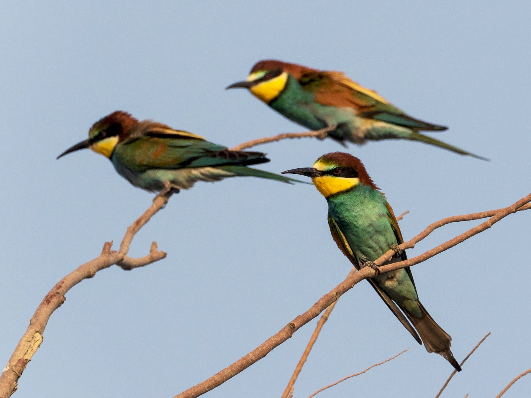 European Bee-eater - Markus Craig