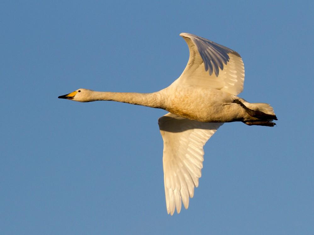 Whooper Swan - Ric Else