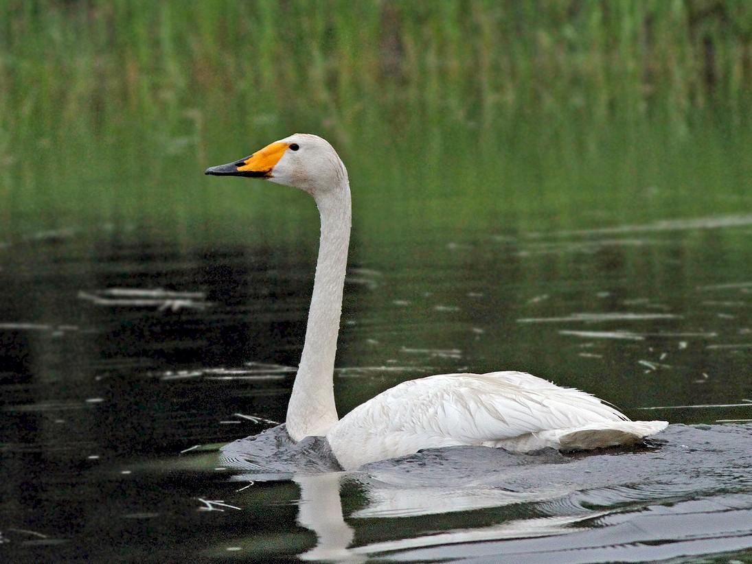 Whooper Swan - Jeremiah Trimble