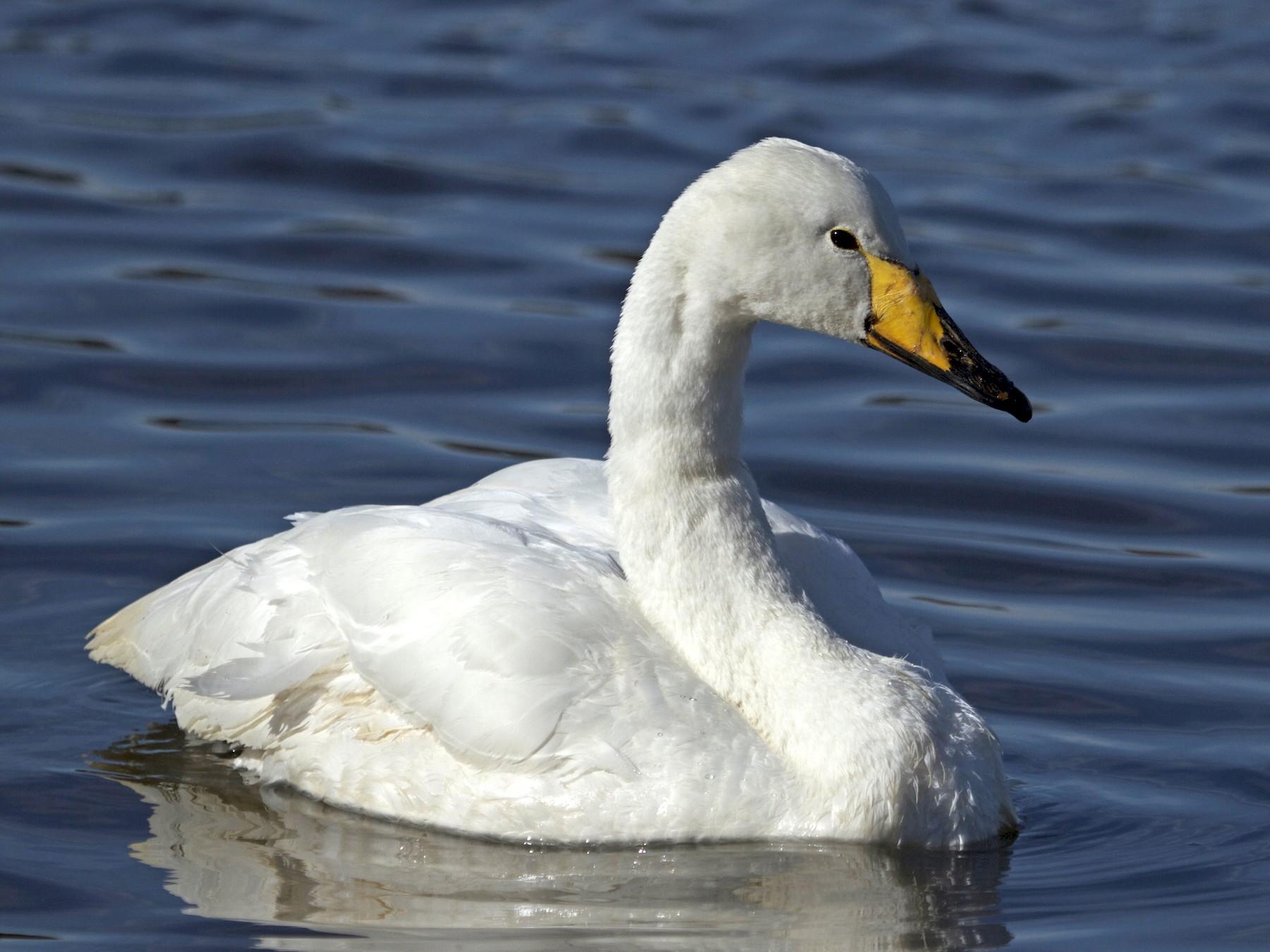 Whooper Swan - Will Sweet