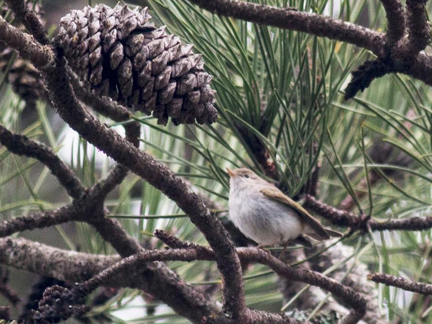 Western Bonelli's Warbler - Pedro Nicolau