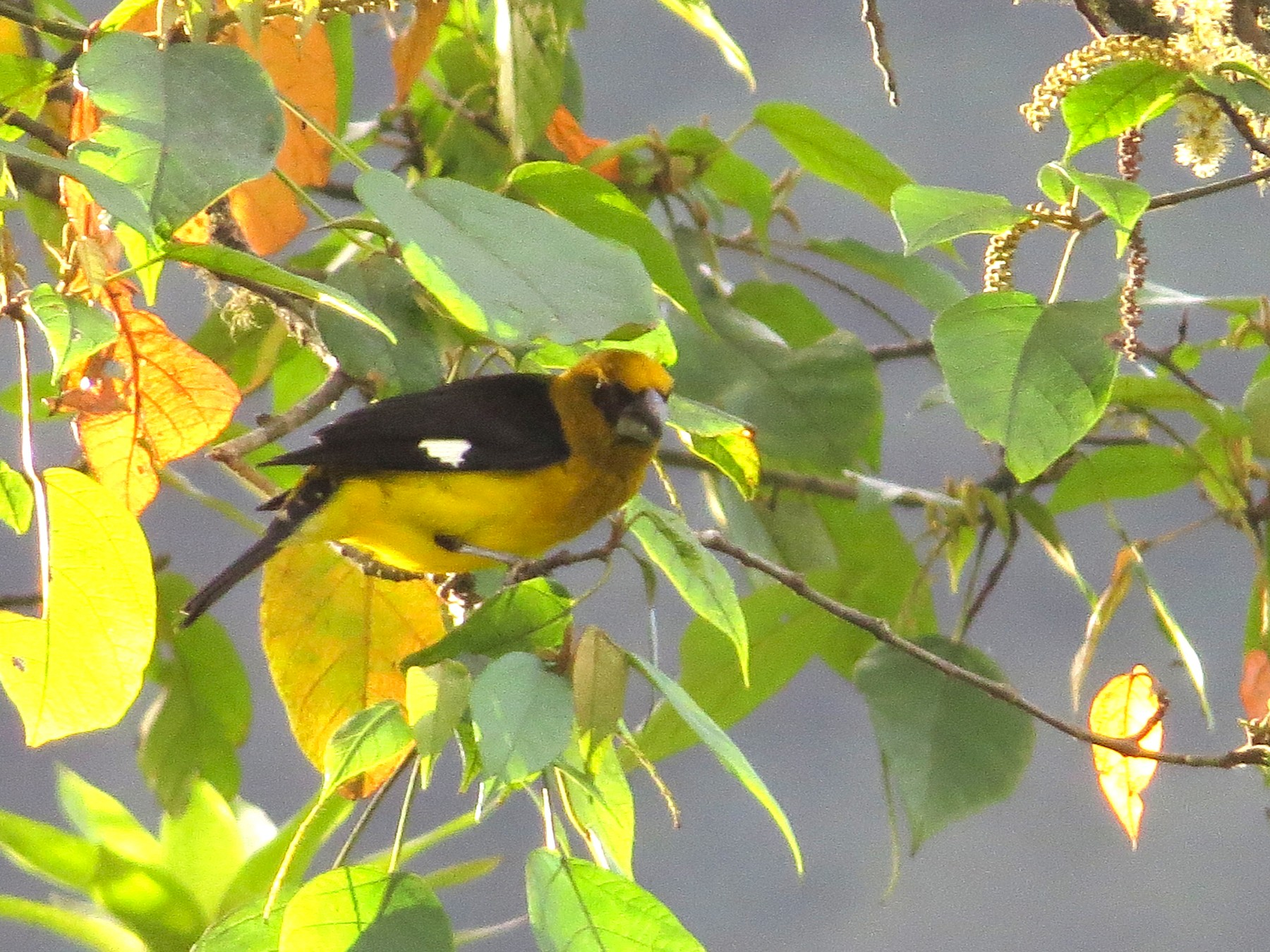 Black-thighed Grosbeak - kenneth reyes