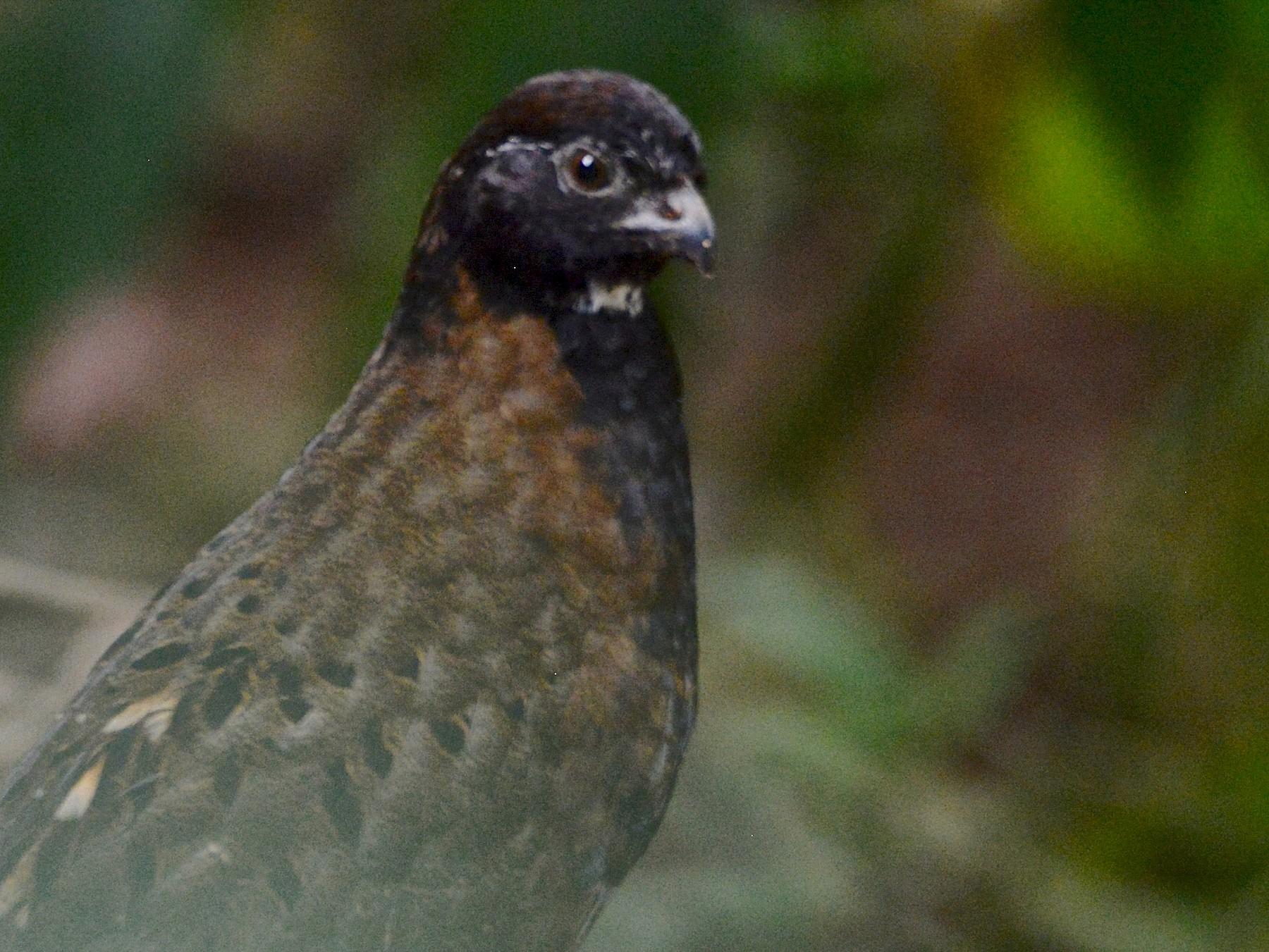 Black-breasted Wood-Quail - Alan Van Norman