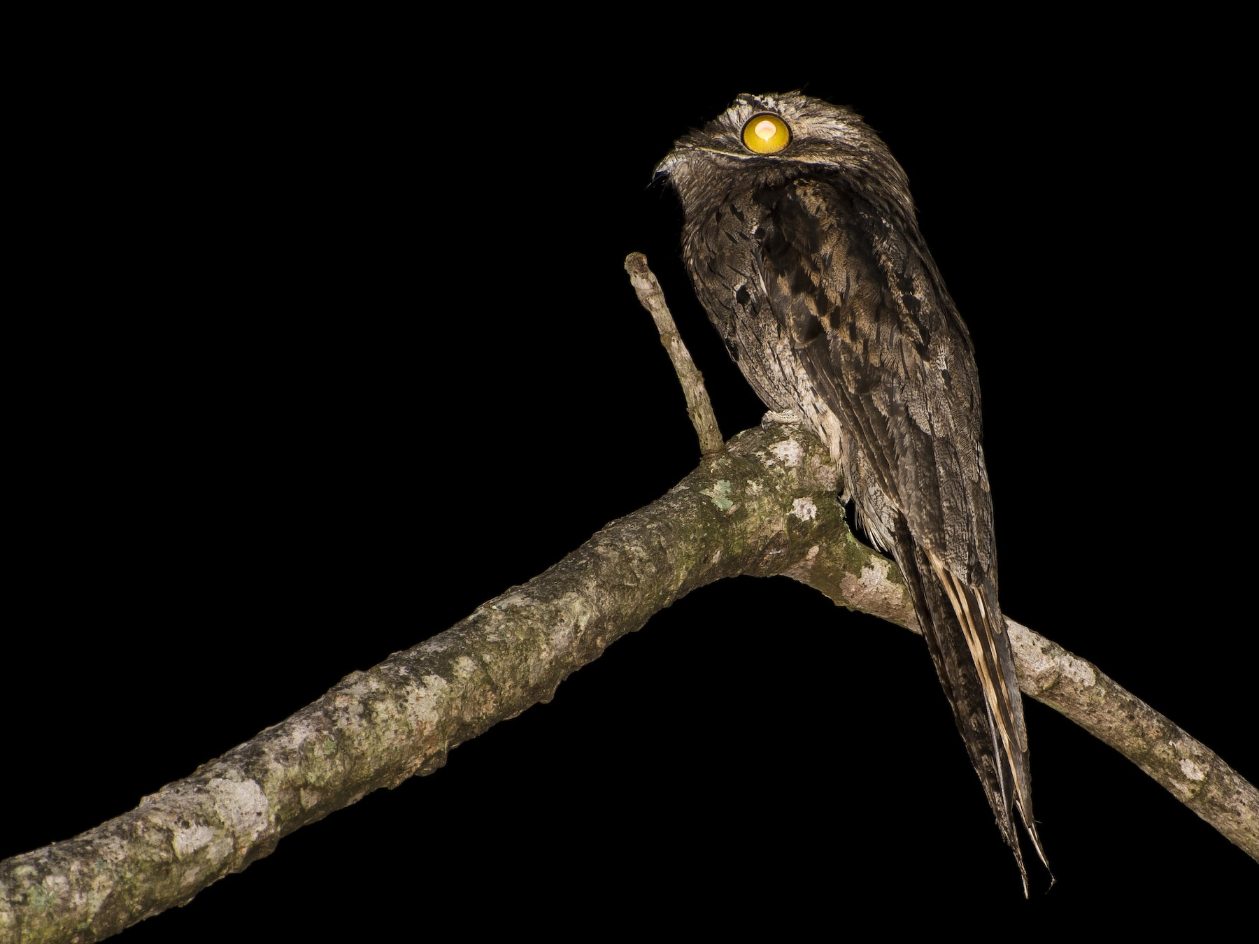 Common Potoo - Luiz Carlos Ramassotti