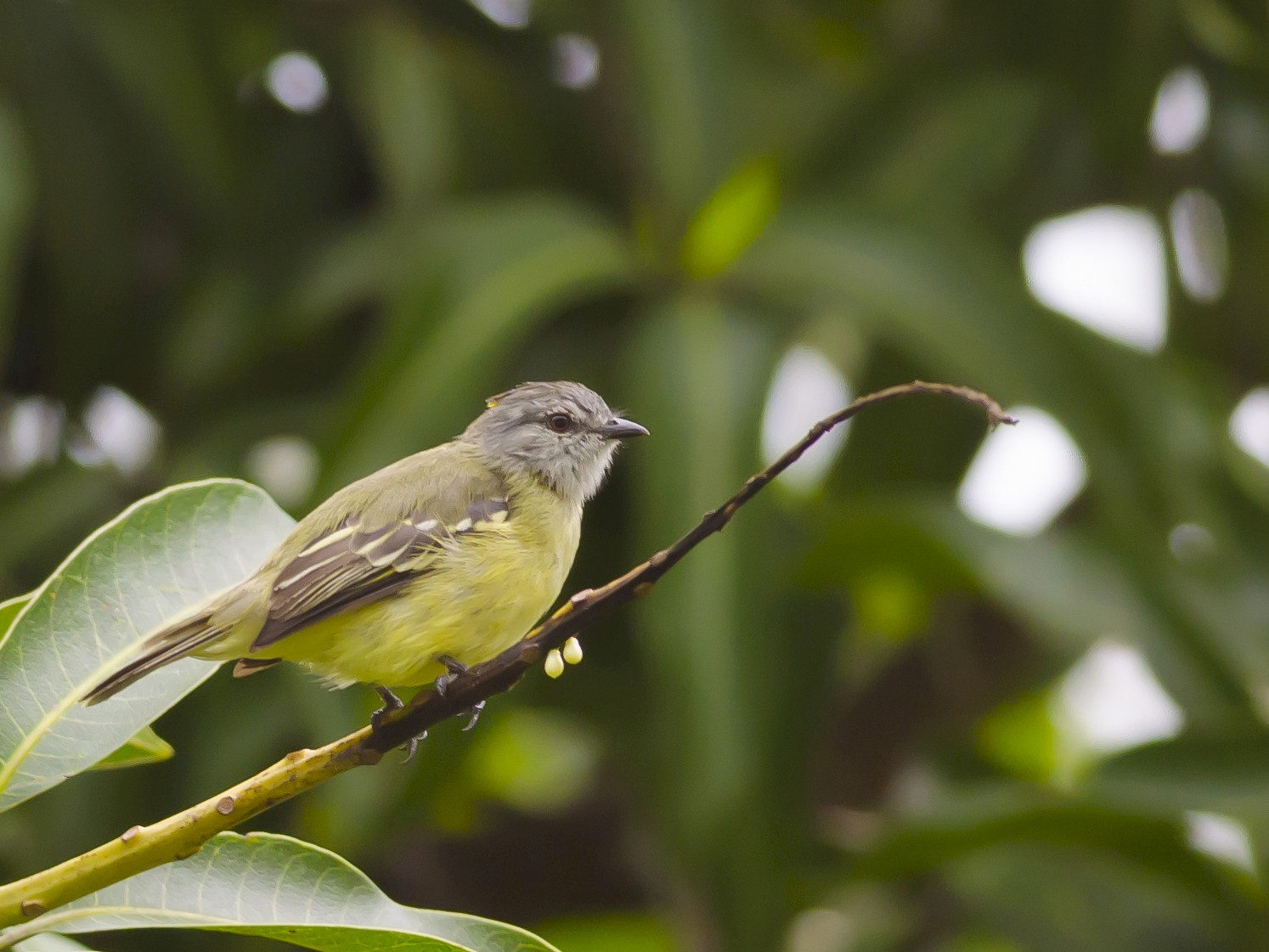 Yellow-crowned Tyrannulet - Neil Diaz
