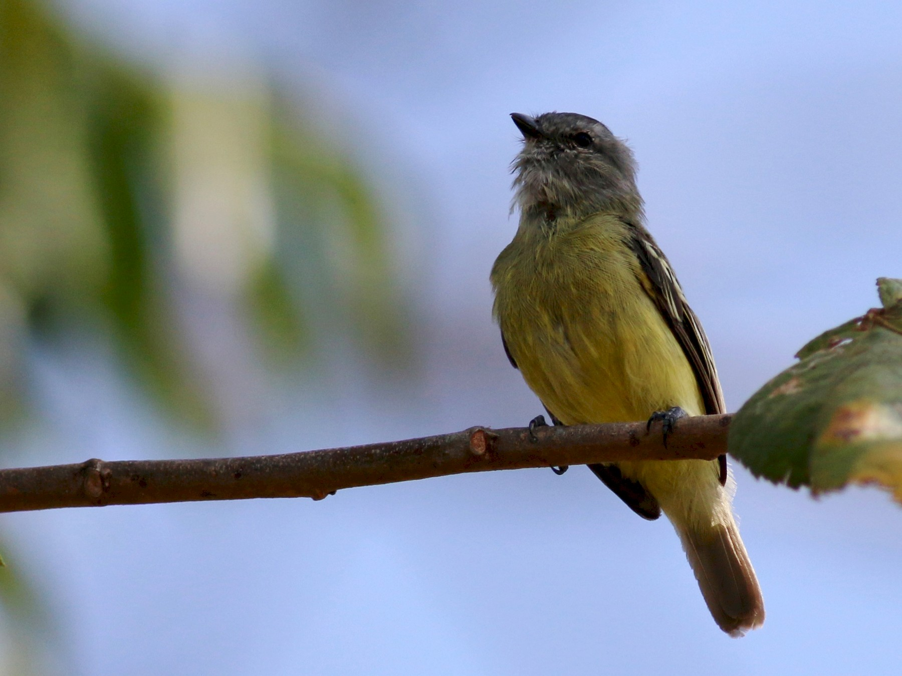 Yellow-crowned Tyrannulet - Oliver Burton