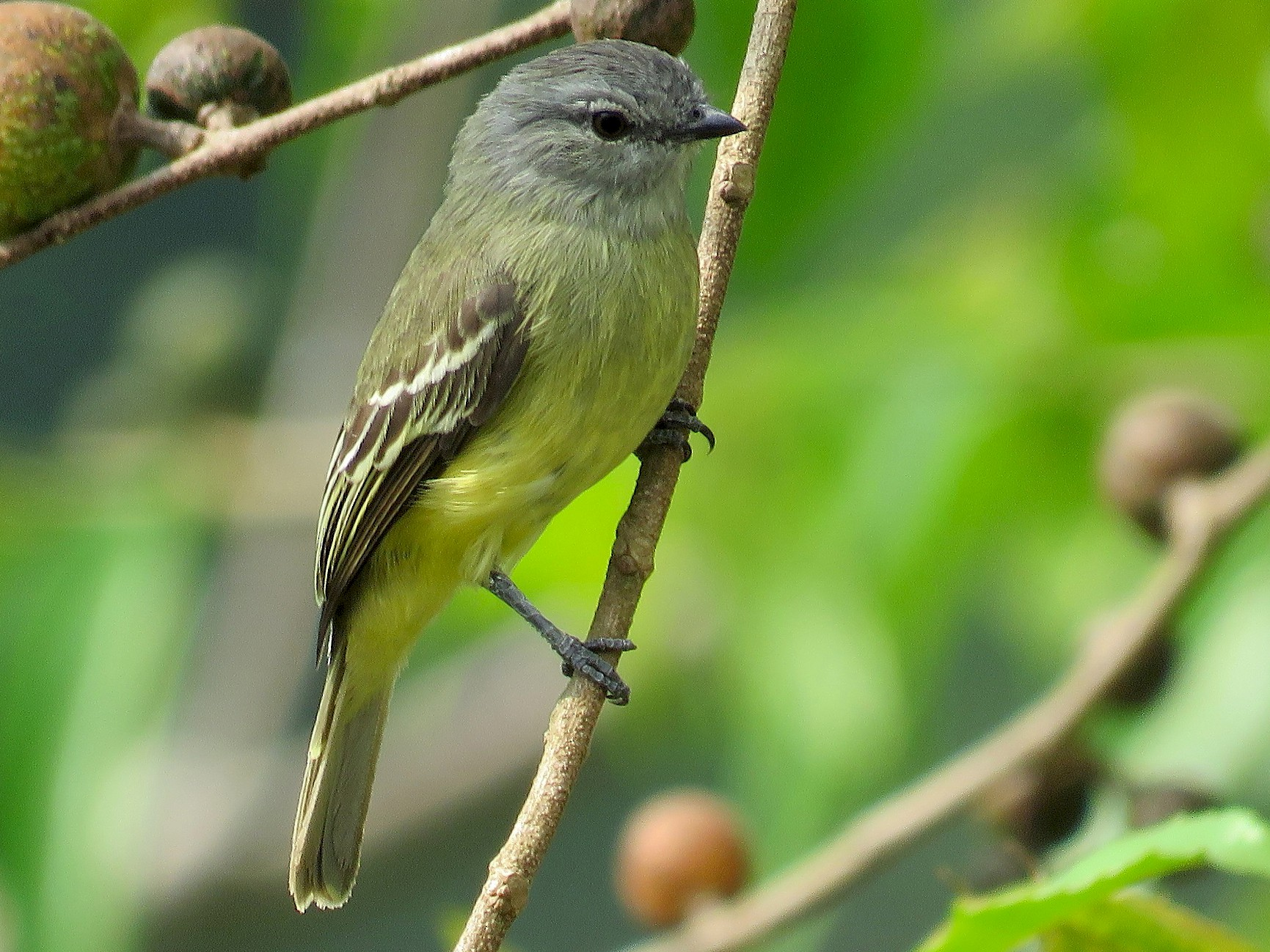 Yellow-crowned Tyrannulet - Rolando Jordan