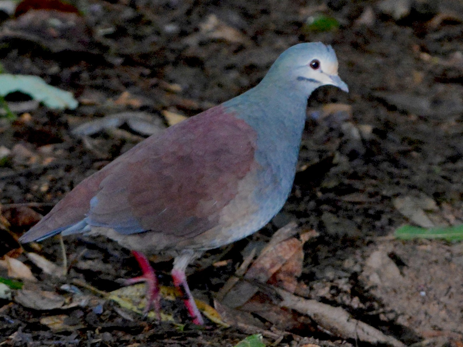 Buff-fronted Quail-Dove - David Hollie
