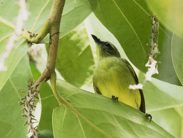Brown-capped Tyrannulet - Dorian Anderson