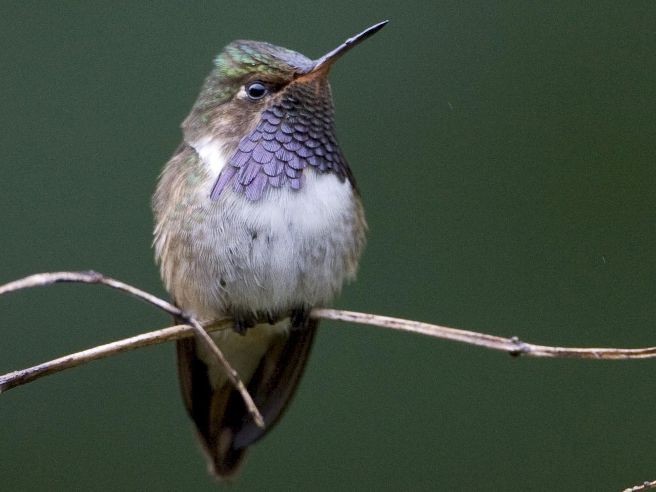 Volcano Hummingbird - Brian Sullivan