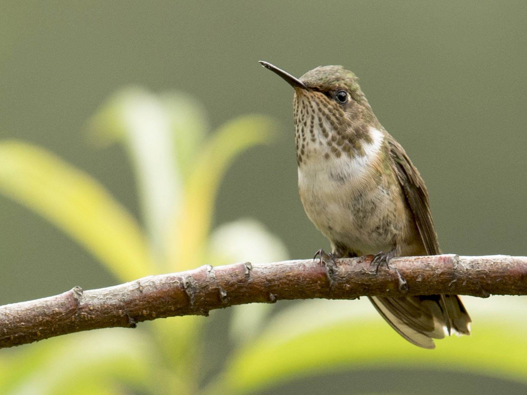 Volcano Hummingbird - Ken Langelier