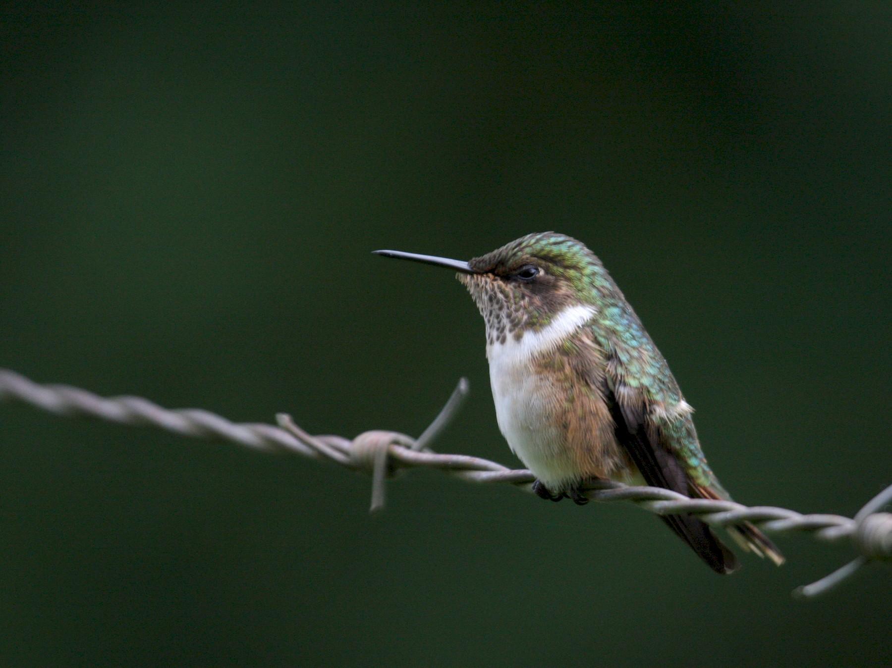 Volcano Hummingbird - Marshall Iliff