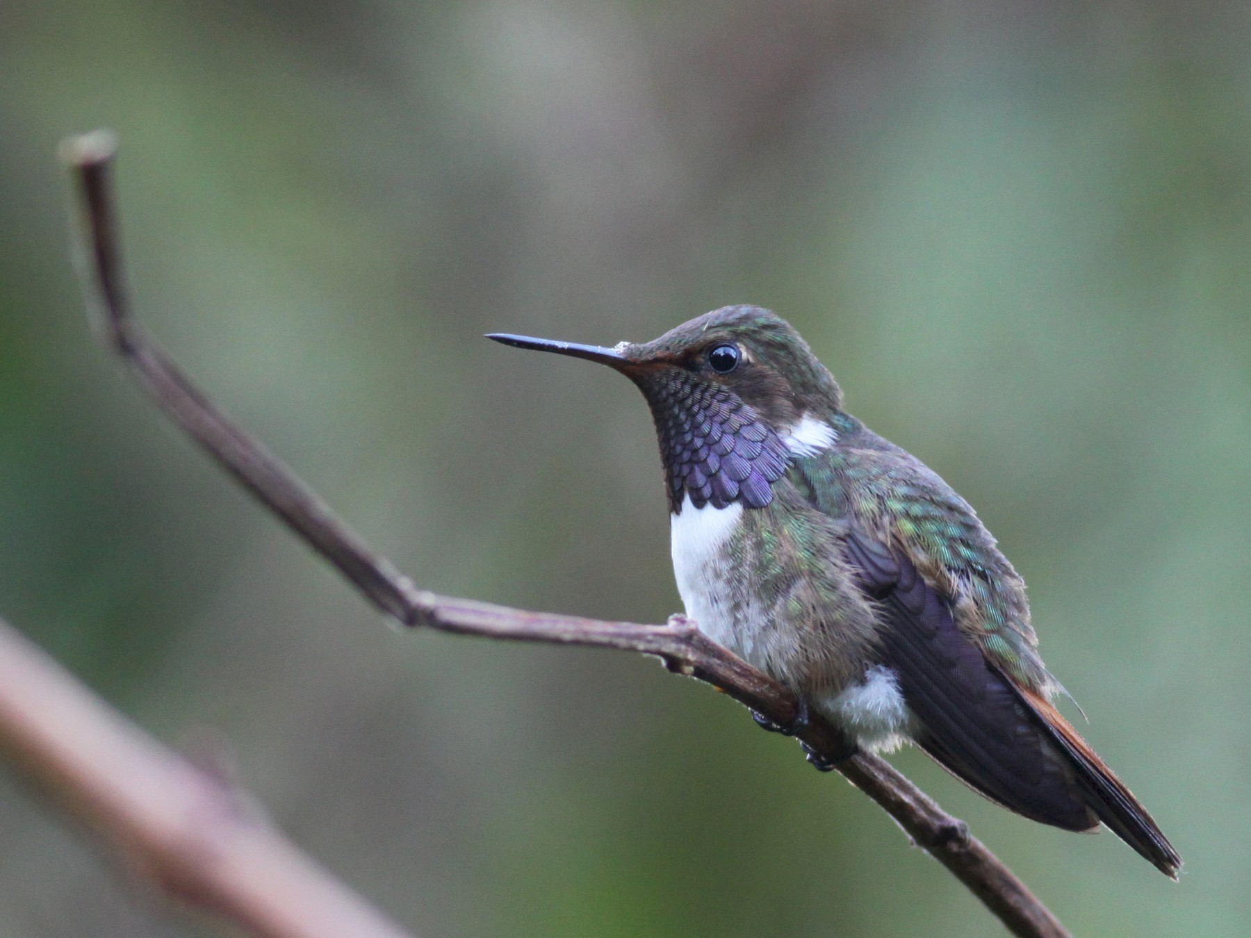 Volcano Hummingbird - Ian Davies