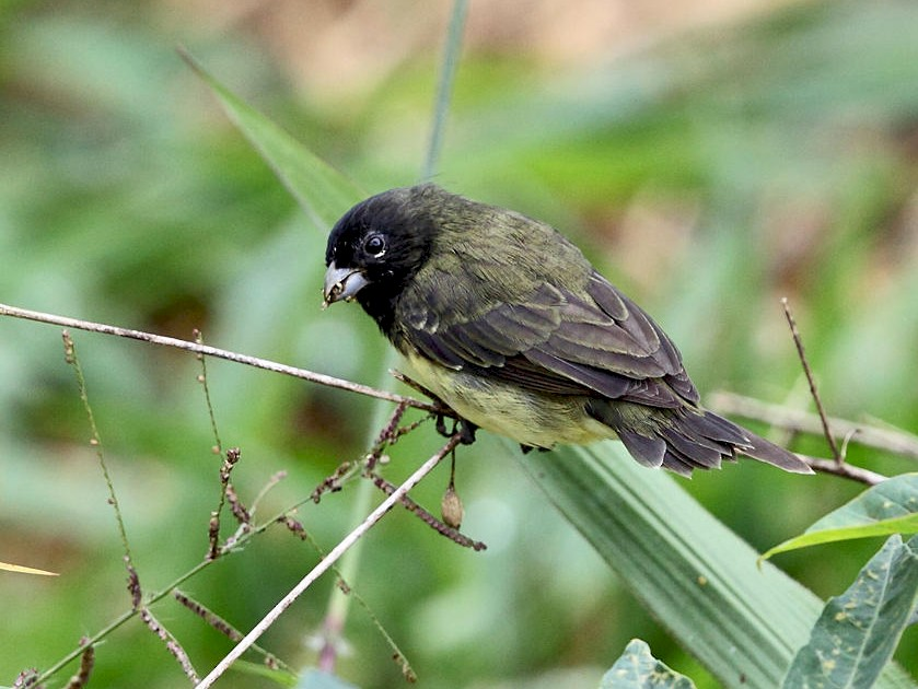 Yellow-bellied Seedeater - Tom Murray