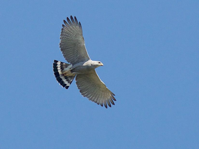 Gray-lined Hawk - Len  Jellicoe