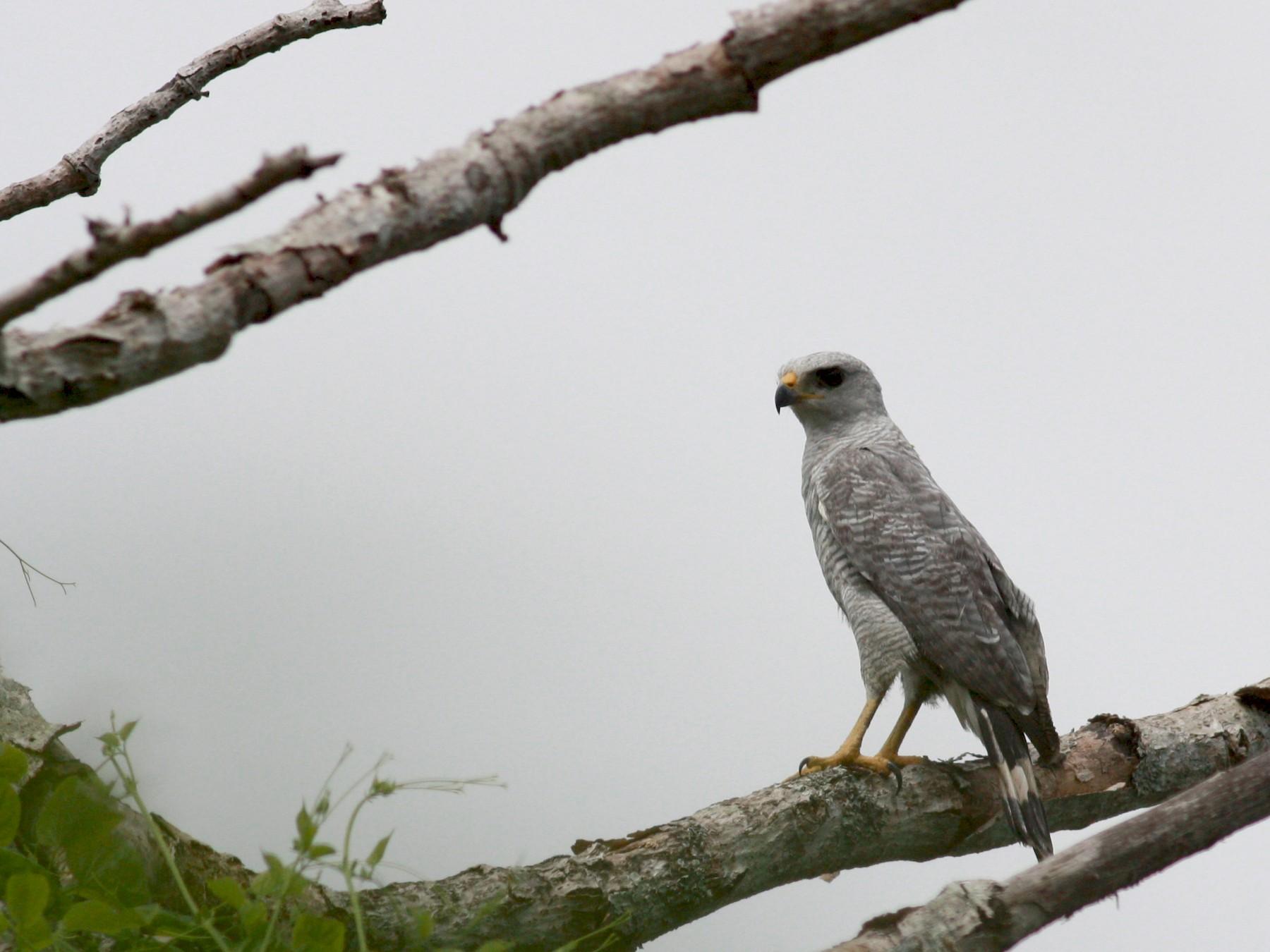 Gray-lined Hawk - Jay McGowan
