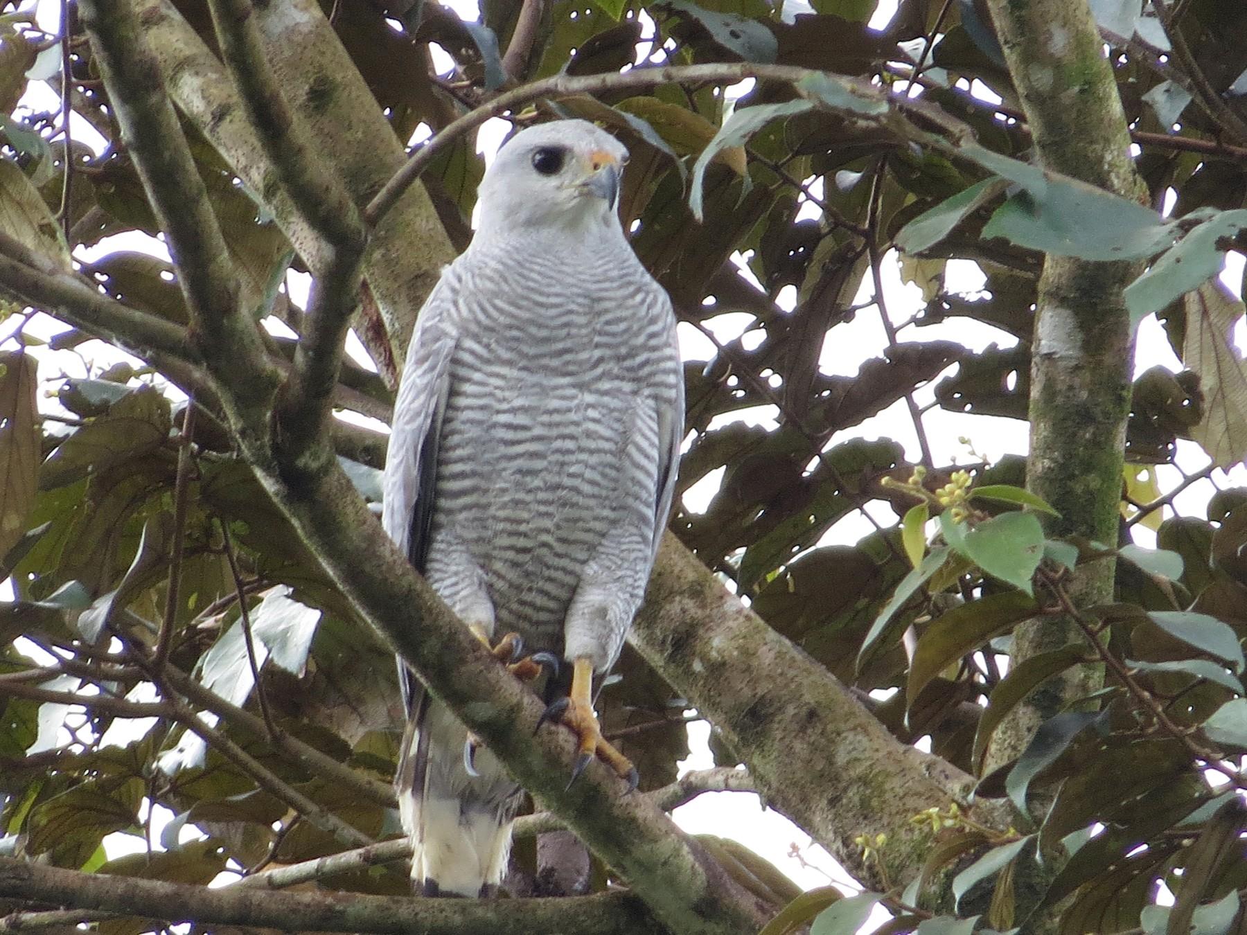 Gray-lined Hawk - kenneth reyes