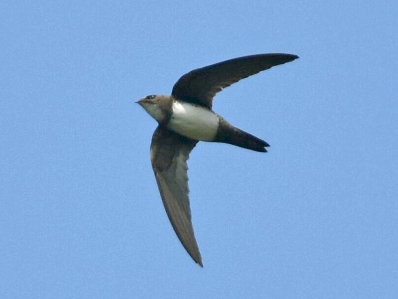 Alpine Swift - Coimbatore Nature Society
