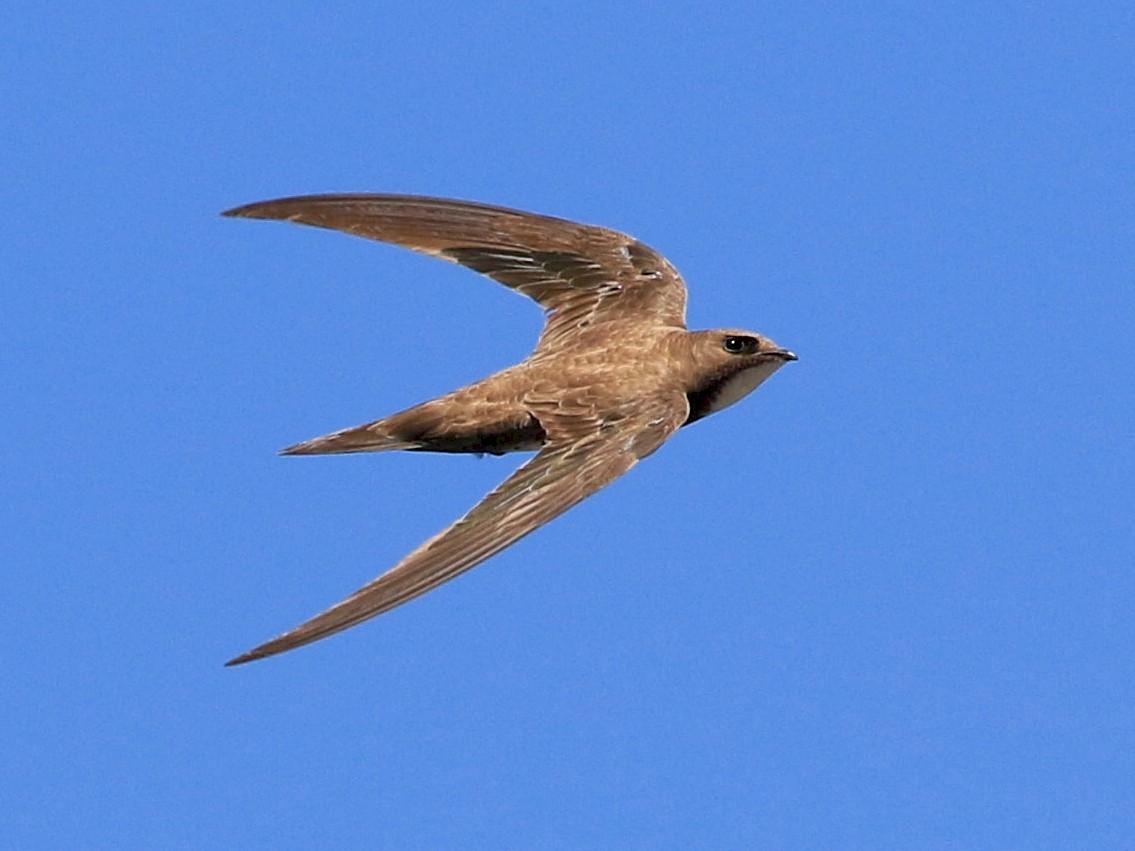 Alpine Swift - Patrick MONNEY