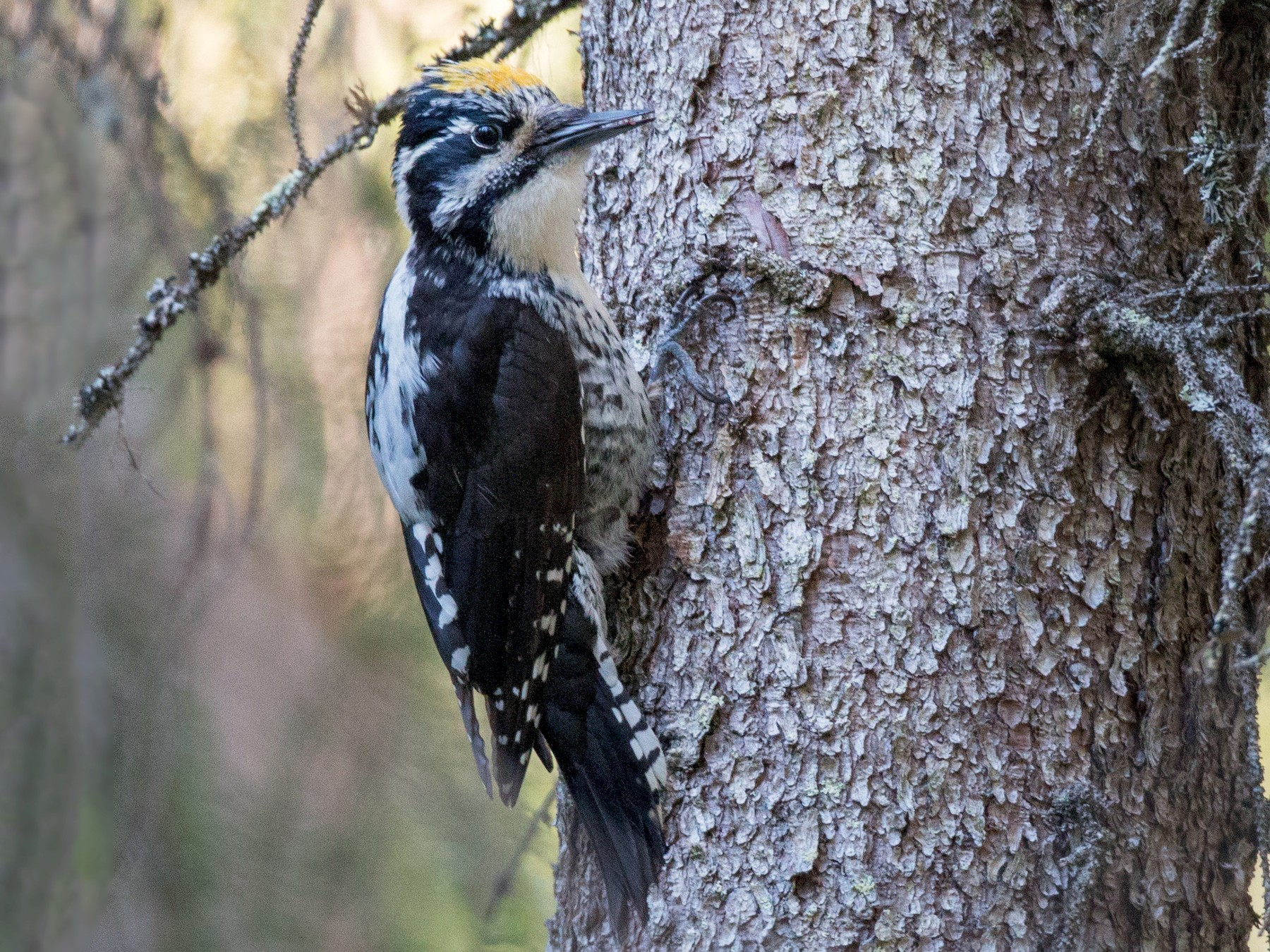 Eurasian Three-toed Woodpecker - Ian Davies