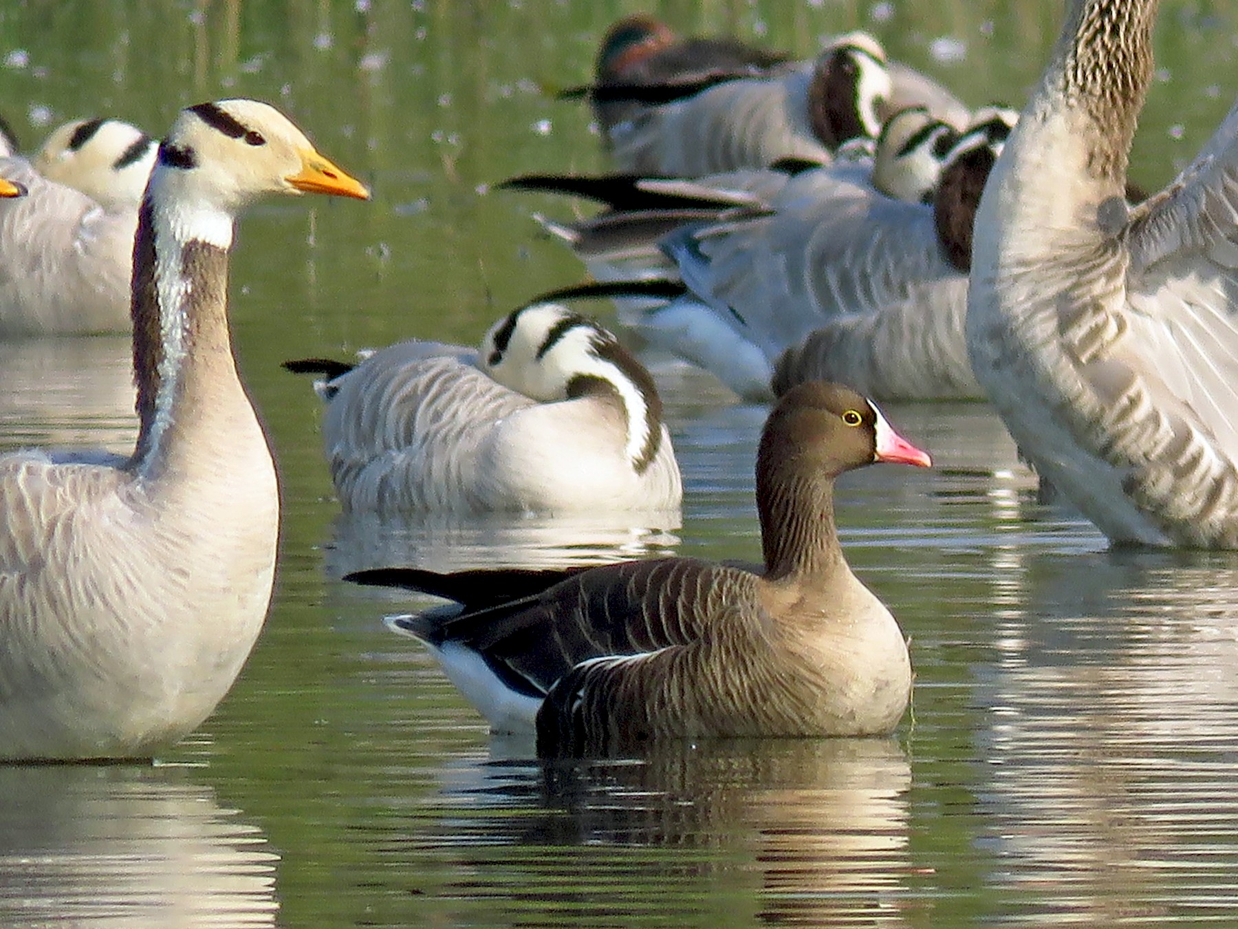 Lesser White-fronted Goose - Ritvik Singh