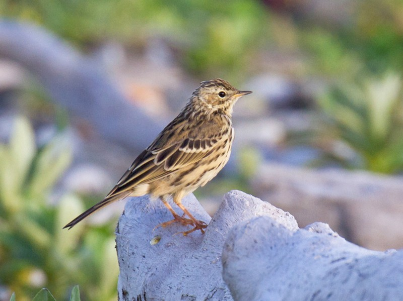 Red-throated Pipit - Ric Else