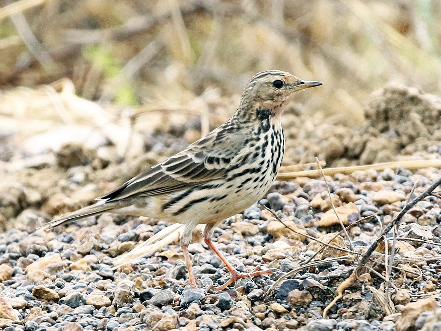 Red-throated Pipit - Dave Bakewell