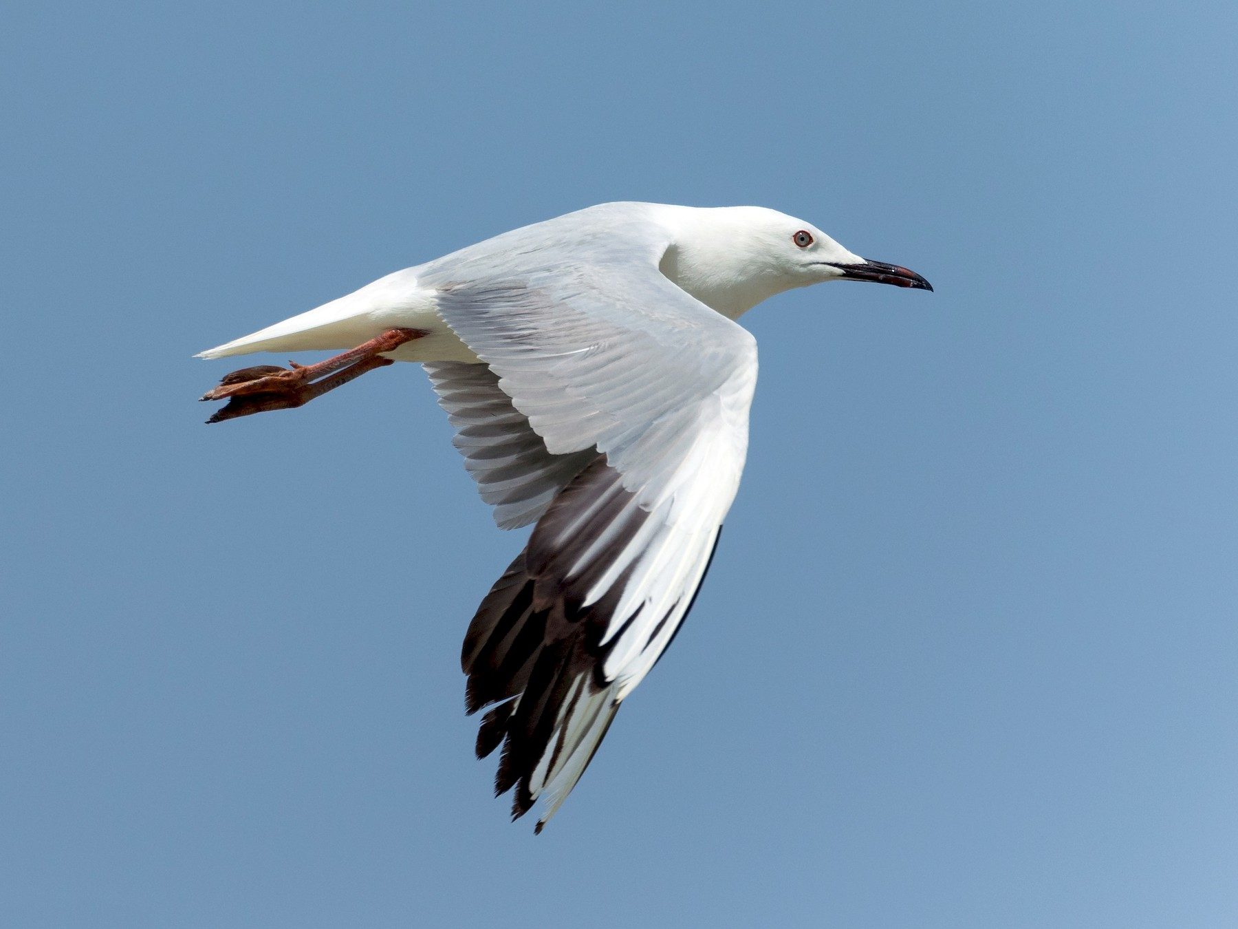 Slender-billed Gull - Markus Craig