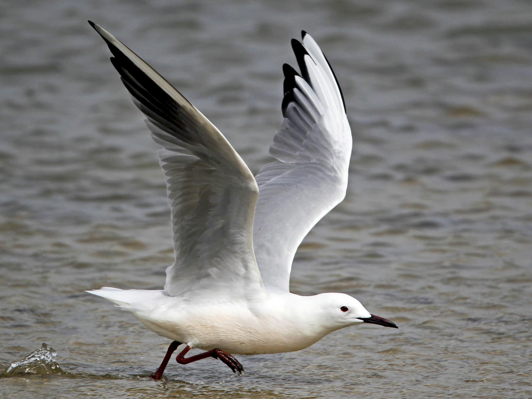 Slender-billed Gull - Ian Davies