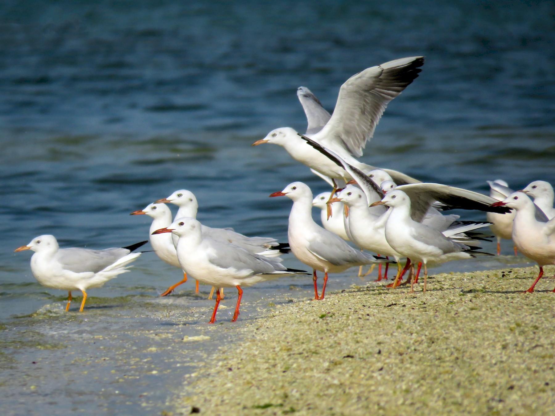 Slender-billed Gull - Dorna Mojab