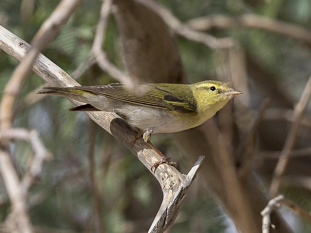 Wood Warbler - Omar alshaheen