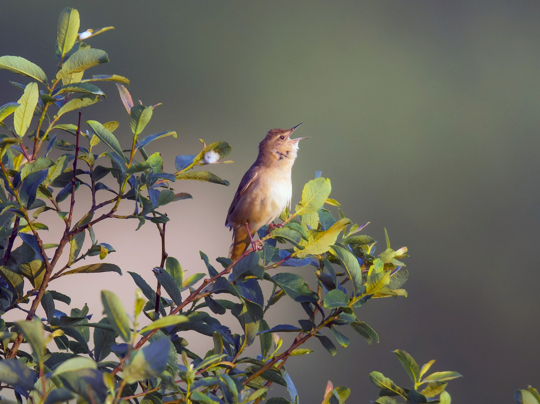 Savi's Warbler - PMDE ESTEVES