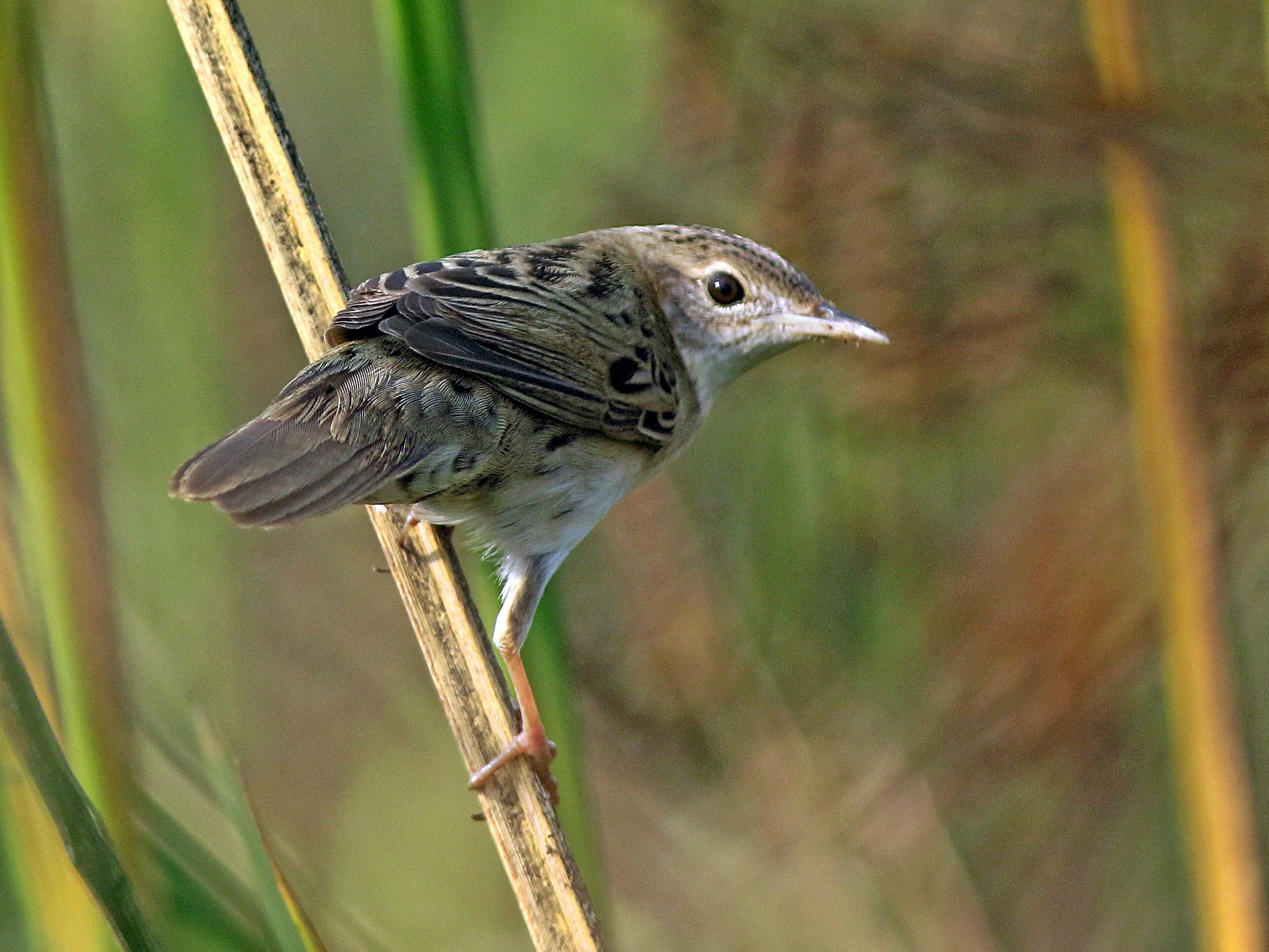 Common Grasshopper-Warbler - abhijith a.p.c