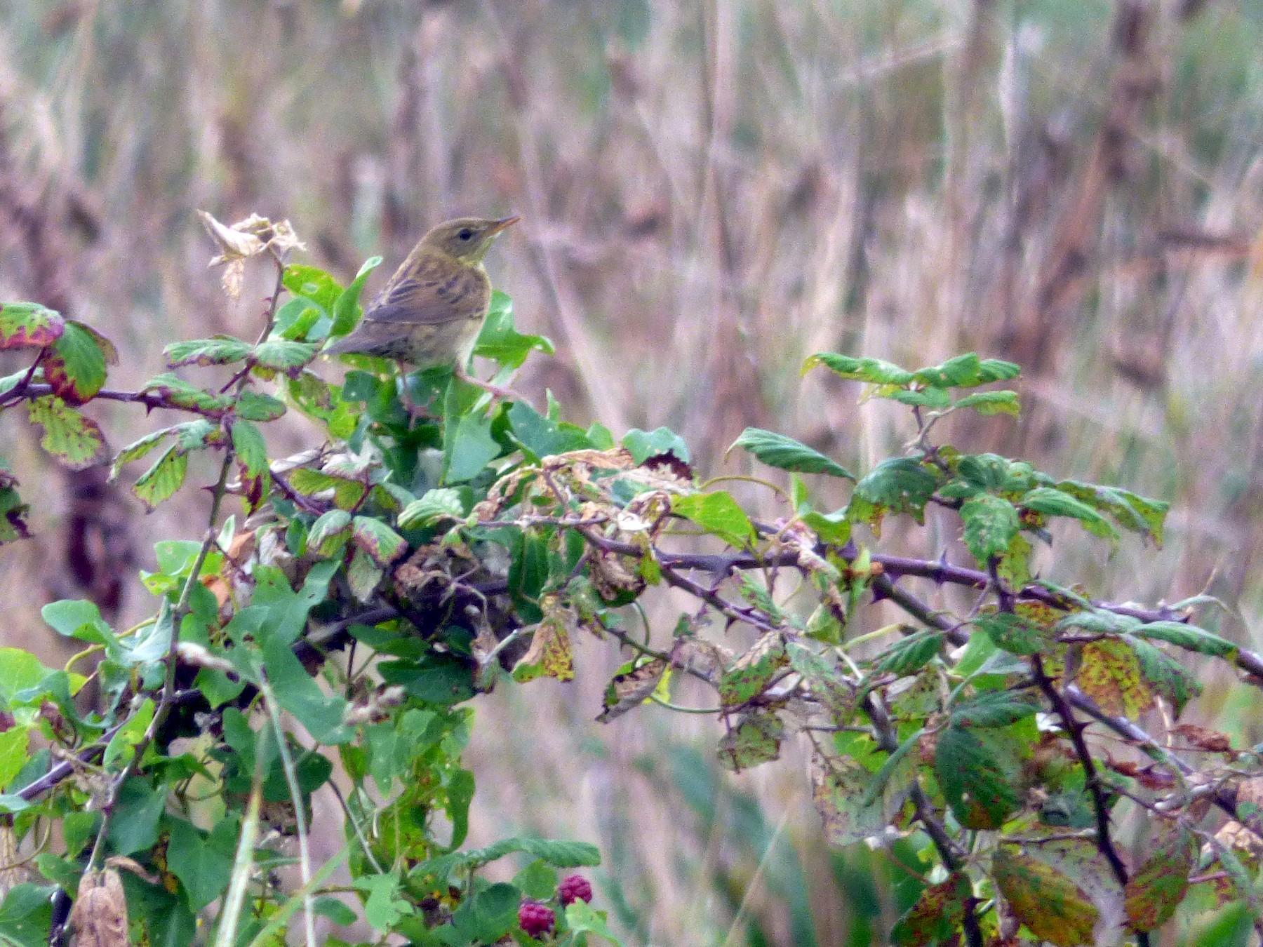 Common Grasshopper-Warbler - Thibaut RIVIERE