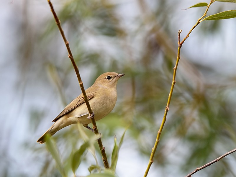 Garden Warbler - Ferit Başbuğ