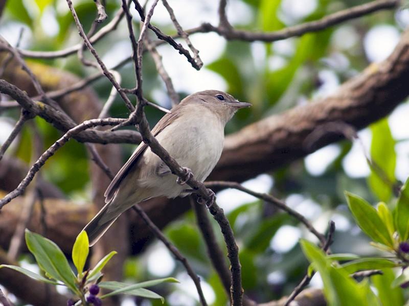 Garden Warbler - Vasco Flores Cruz
