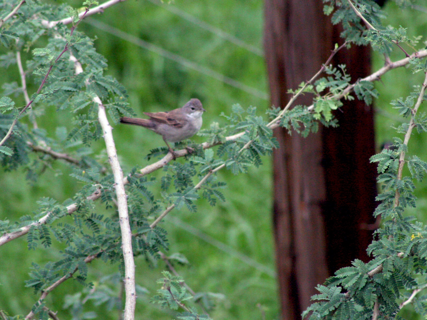 Greater Whitethroat - David Orth-Moore