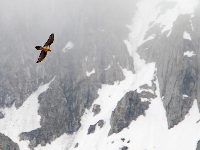 Bearded Vulture - Yann Kolbeinsson