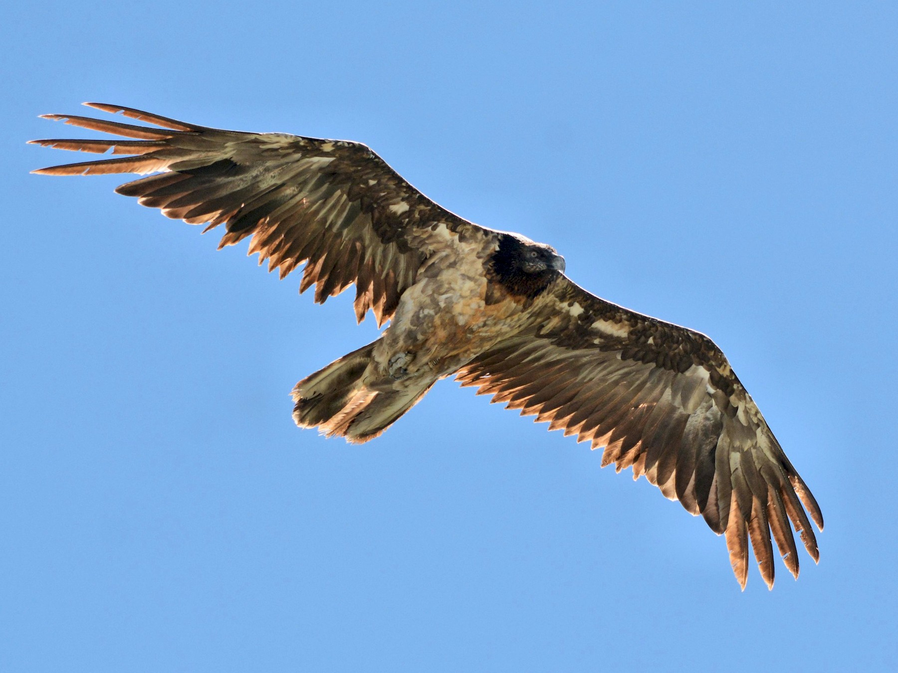 Bearded Vulture - Serge Wolf