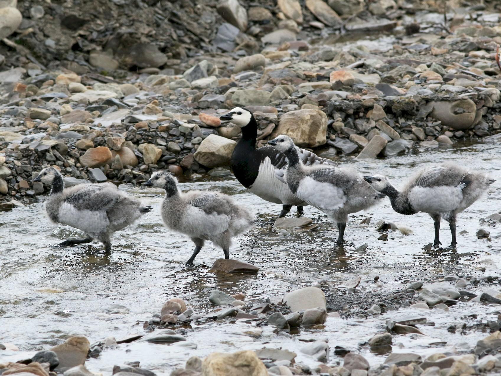 Barnacle Goose - John Cant